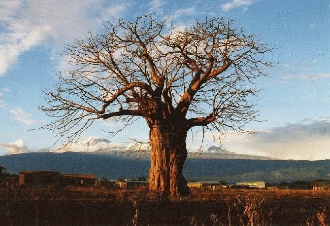 A baobab and Kili
