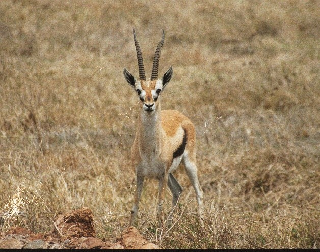 Gazelle in NgoroNgoro